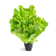 Салат листовой в горшке 200 гр *